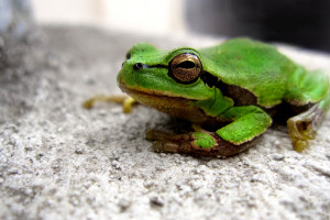 Download picture of a small green frog image