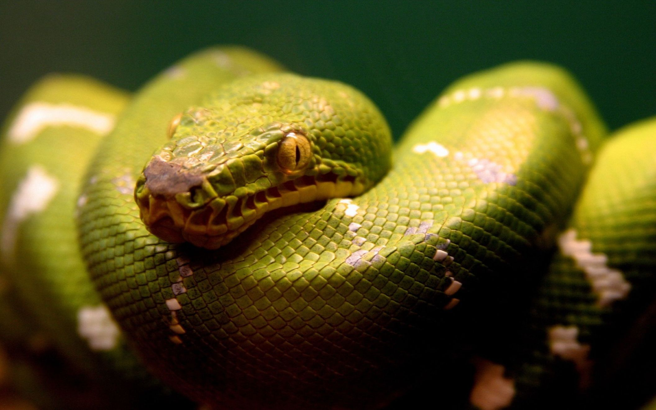 Download free HD A Green Snake Wide Wallpaper, image