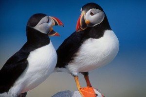 A Pair of Puffins Normal Wallpaper