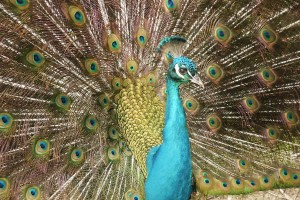 Download A Peacock Normal Wallpaper Free Wallpaper on dailyhdwallpaper.com
