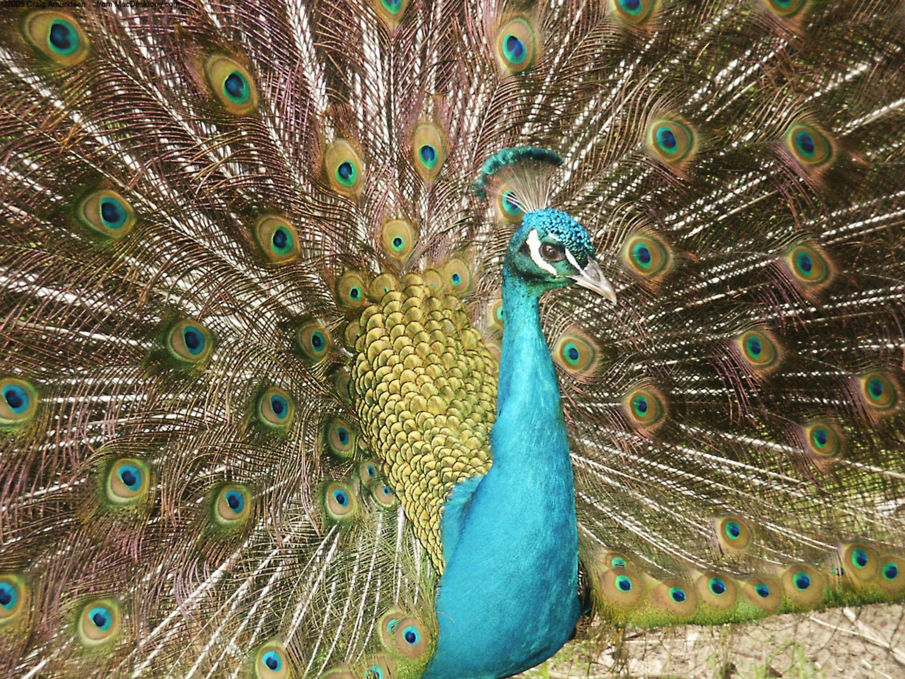 Download free HD A Peacock Normal Wallpaper, image