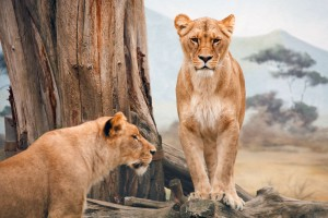 Download African Lioness Wide Wallpaper Free Wallpaper on dailyhdwallpaper.com