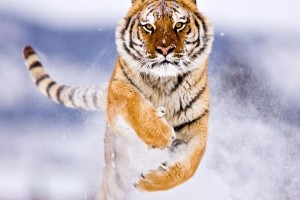 Download Amur Tiger In Snow Normal5.4 Wallpaper Free Wallpaper on dailyhdwallpaper.com