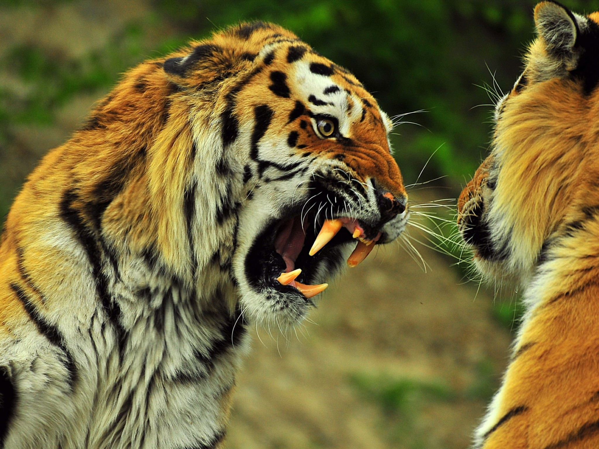 Simple Wallpaper High Resolution Tiger - Animal-High-Resolution-Free-Wallpaper-2048x1536  Photograph_475858.jpg