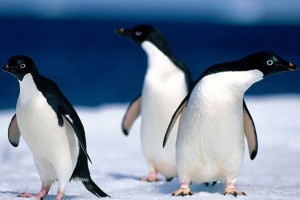 Animals Pinguine Normal Wallpaper