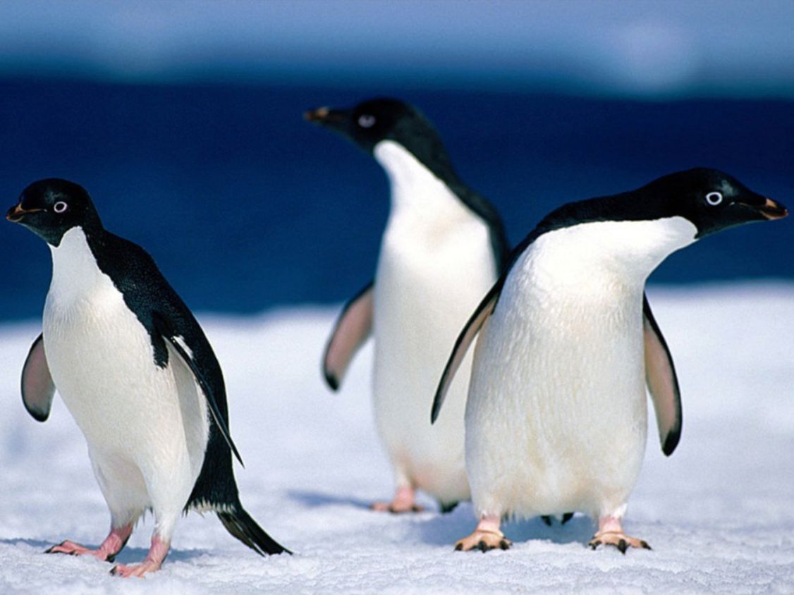 Download free HD Animals Pinguine Normal Wallpaper, image