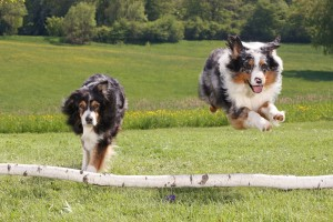 Australian Sheperds Wide Wallpaper