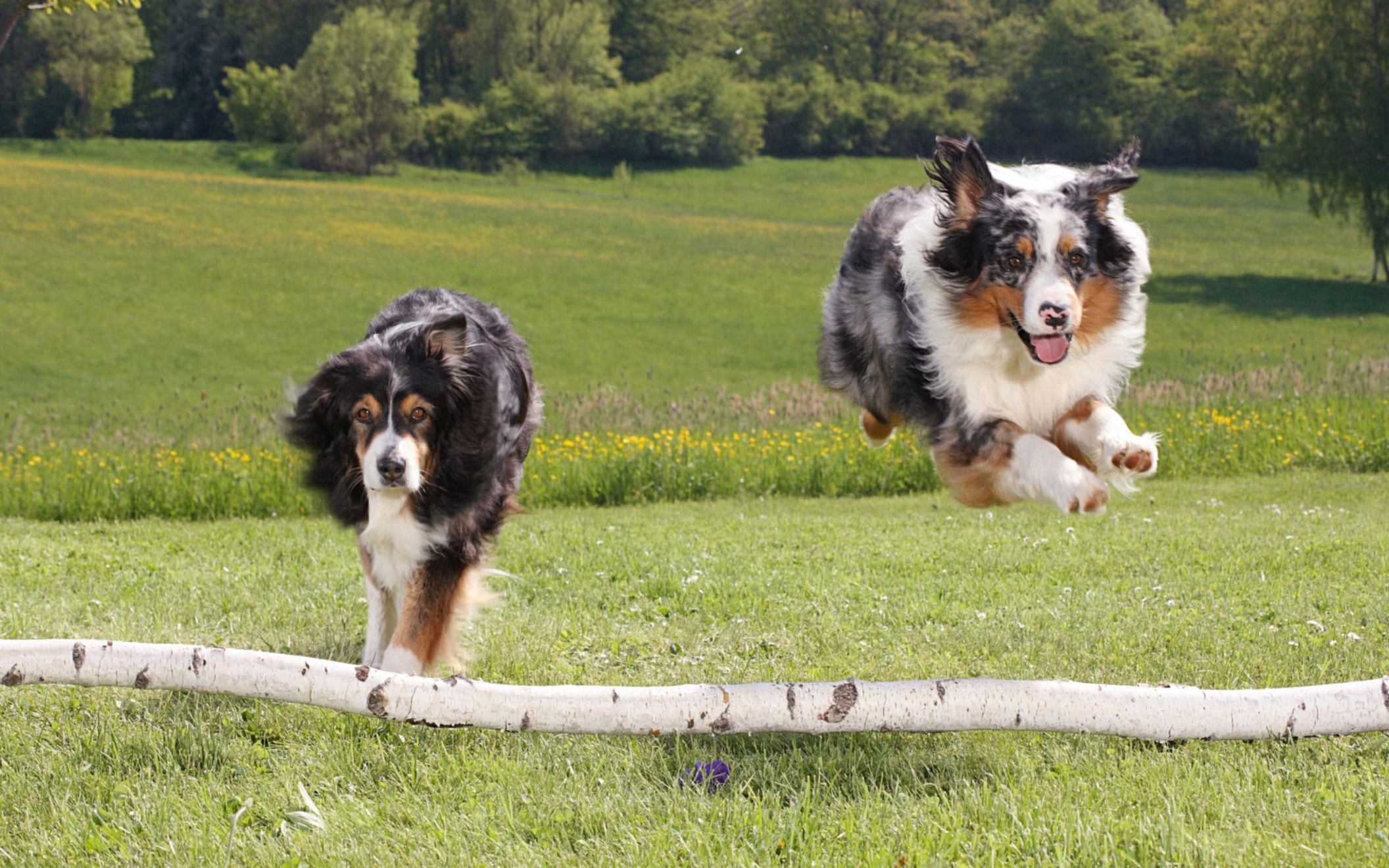 Download free HD Australian Sheperds Wide Wallpaper, image