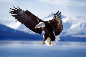 Bald Eagle in Flight Alaska Wide Wallpaper