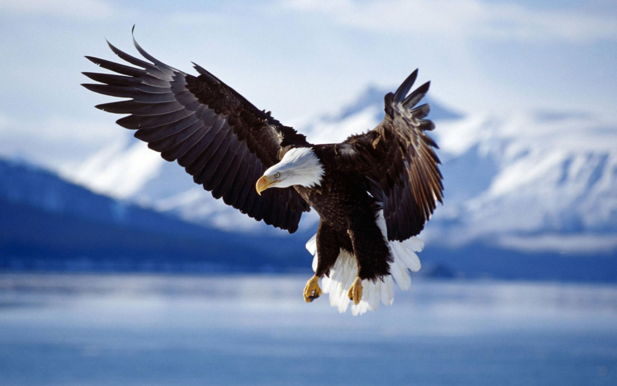Download free HD Bald Eagle in Flight Alaska Wide Wallpaper, image