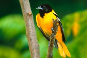 Baltimore Oriole Normal Wallpaper