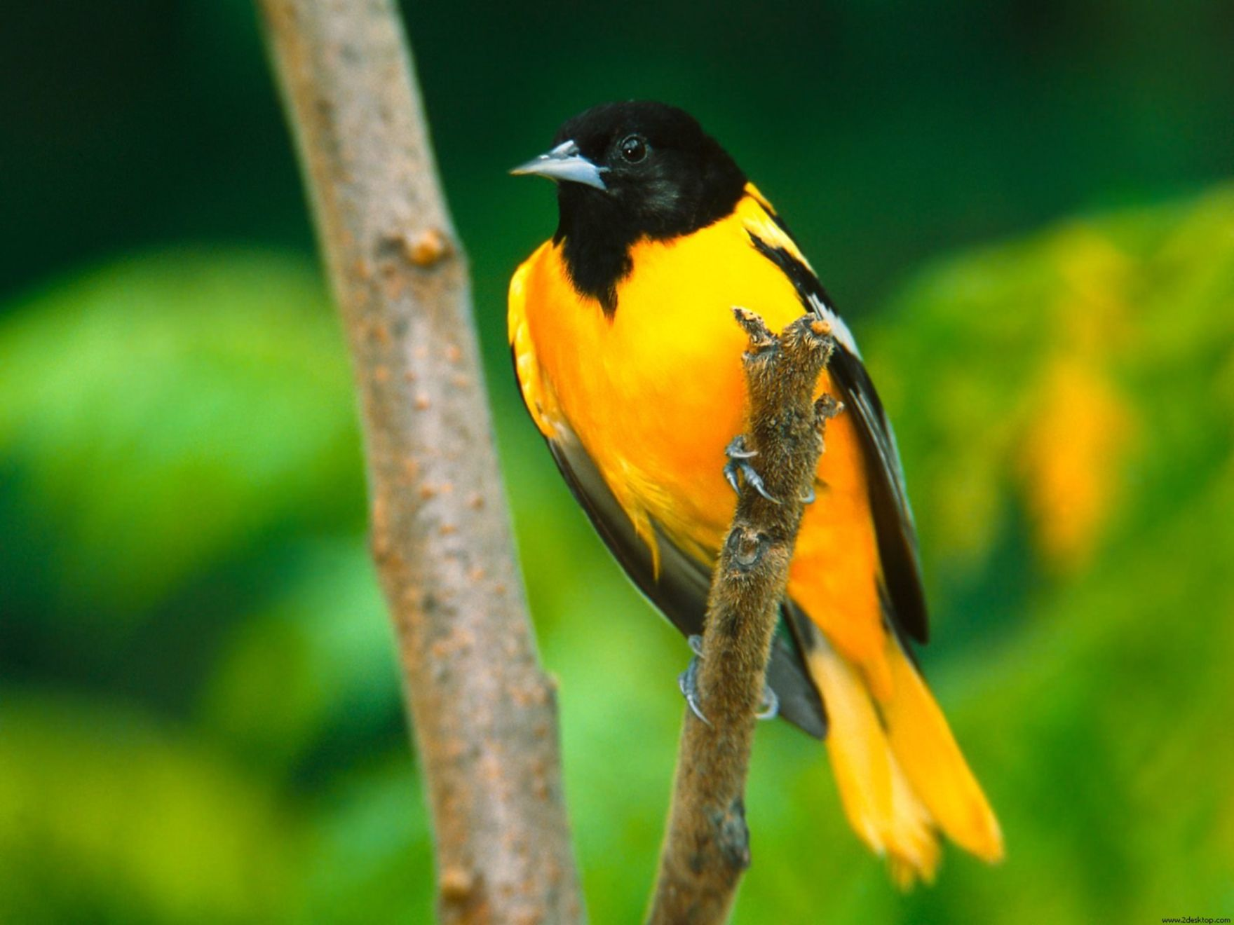 Download free HD Baltimore Oriole Normal Wallpaper, image