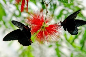 Beautiful Dark Butterfly In Red Flowers Wallpaper