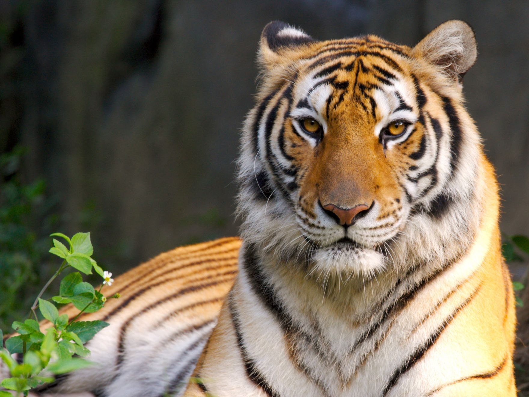 Download free HD Beauty Of Tiger Normal Wallpaper, image