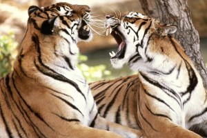 Download Bengal Tigers Normal Wallpaper Free Wallpaper on dailyhdwallpaper.com