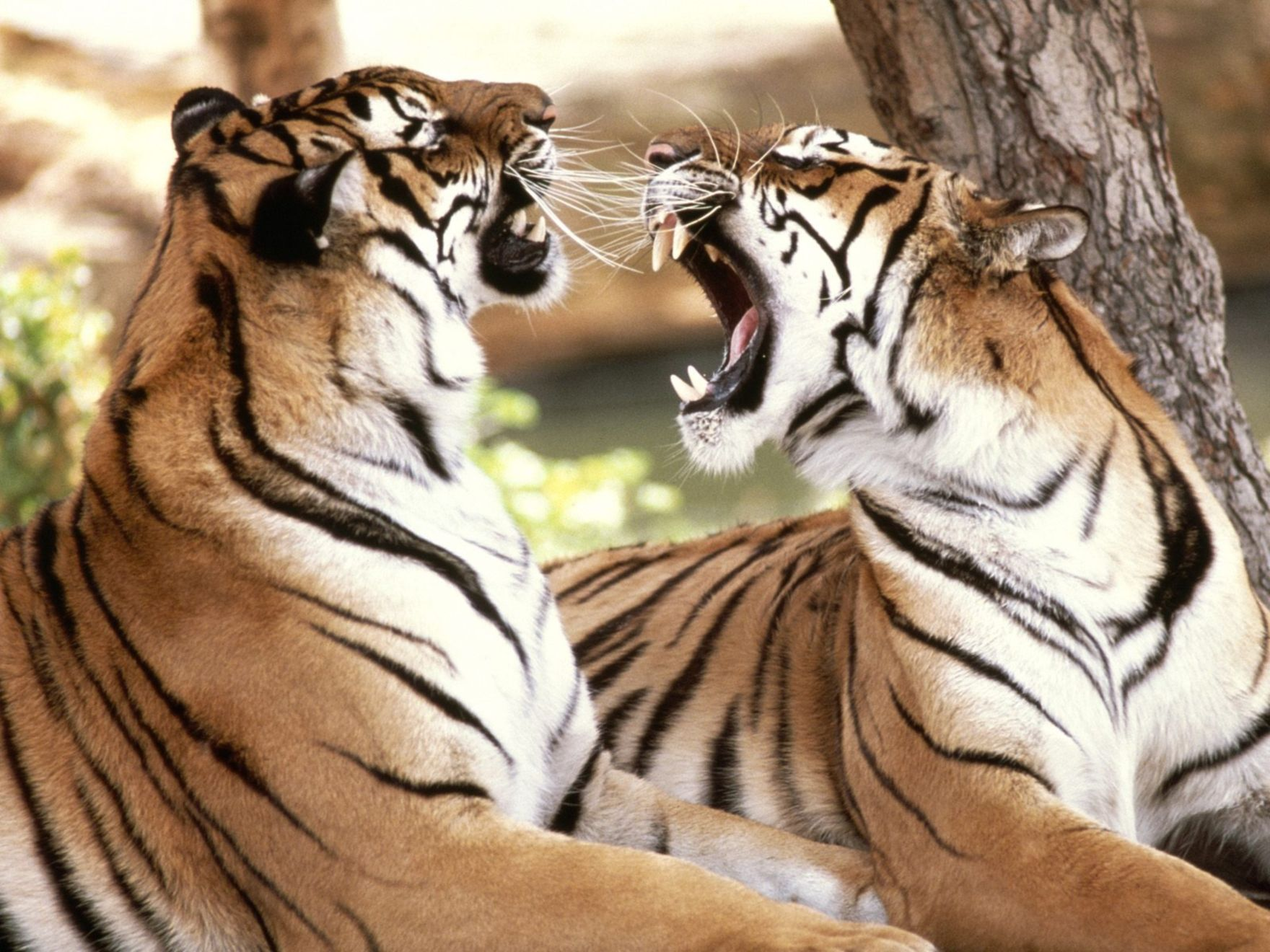 Download free HD Bengal Tigers Normal Wallpaper, image