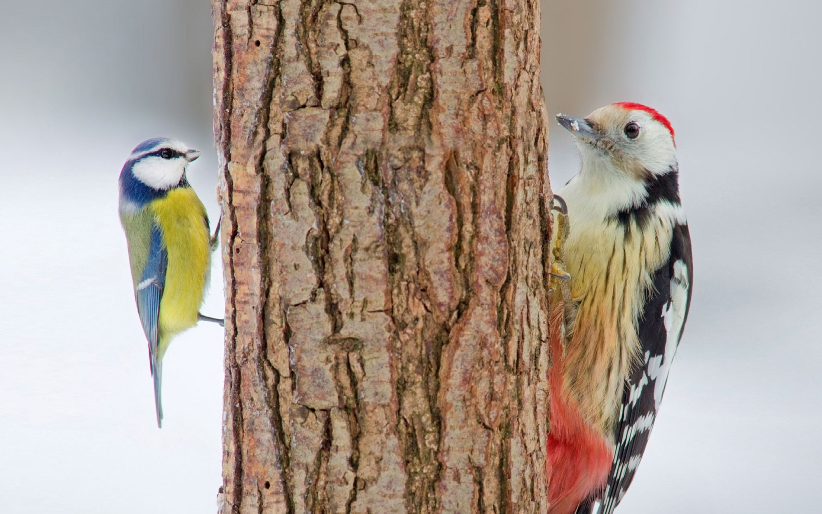 Download free HD Birds Opposite Sides Of Tree Wallpaper, image
