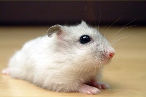 Download Black And White Hamster Wallpaper Free Wallpaper on dailyhdwallpaper.com