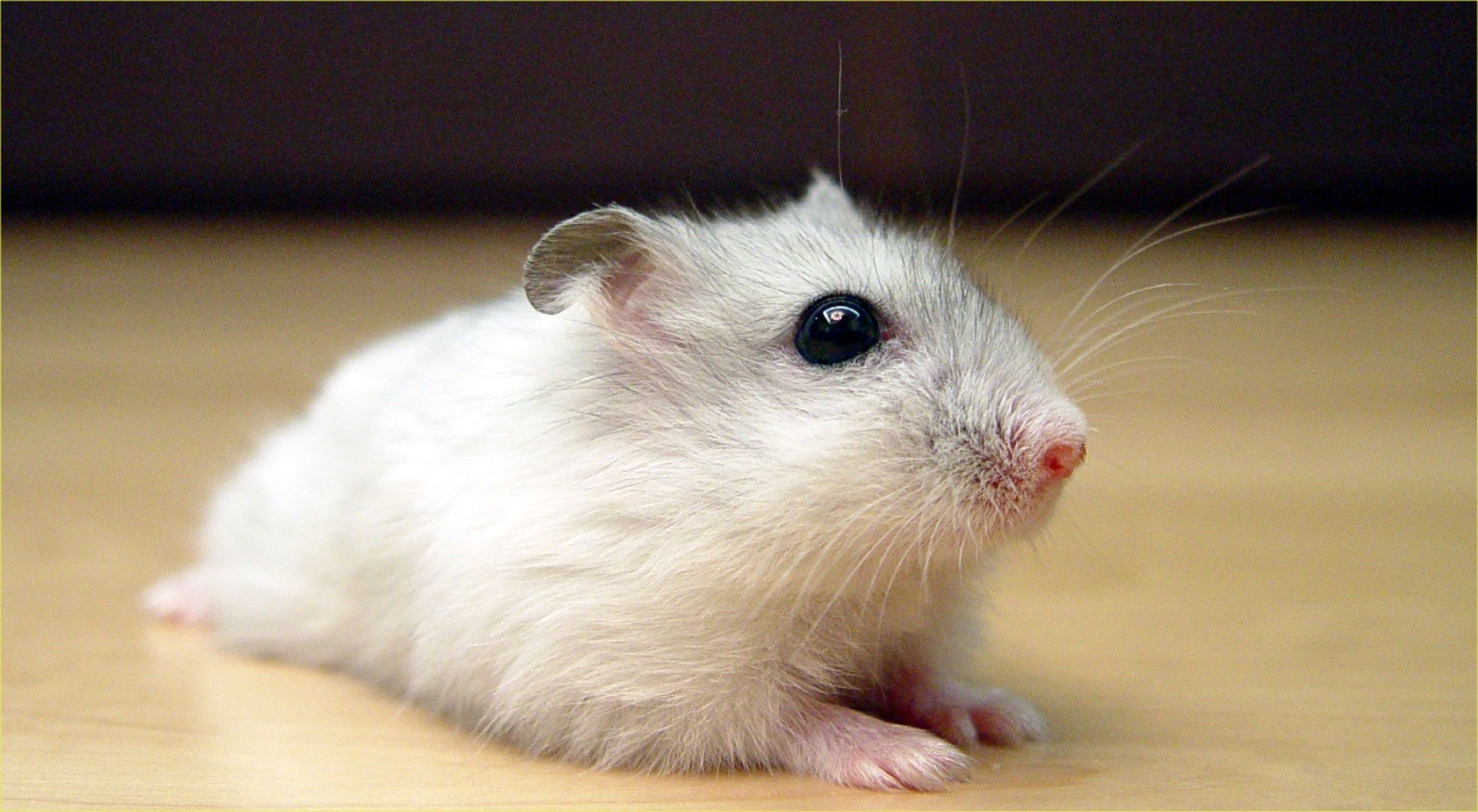 Download free HD Black And White Hamster Wallpaper, image