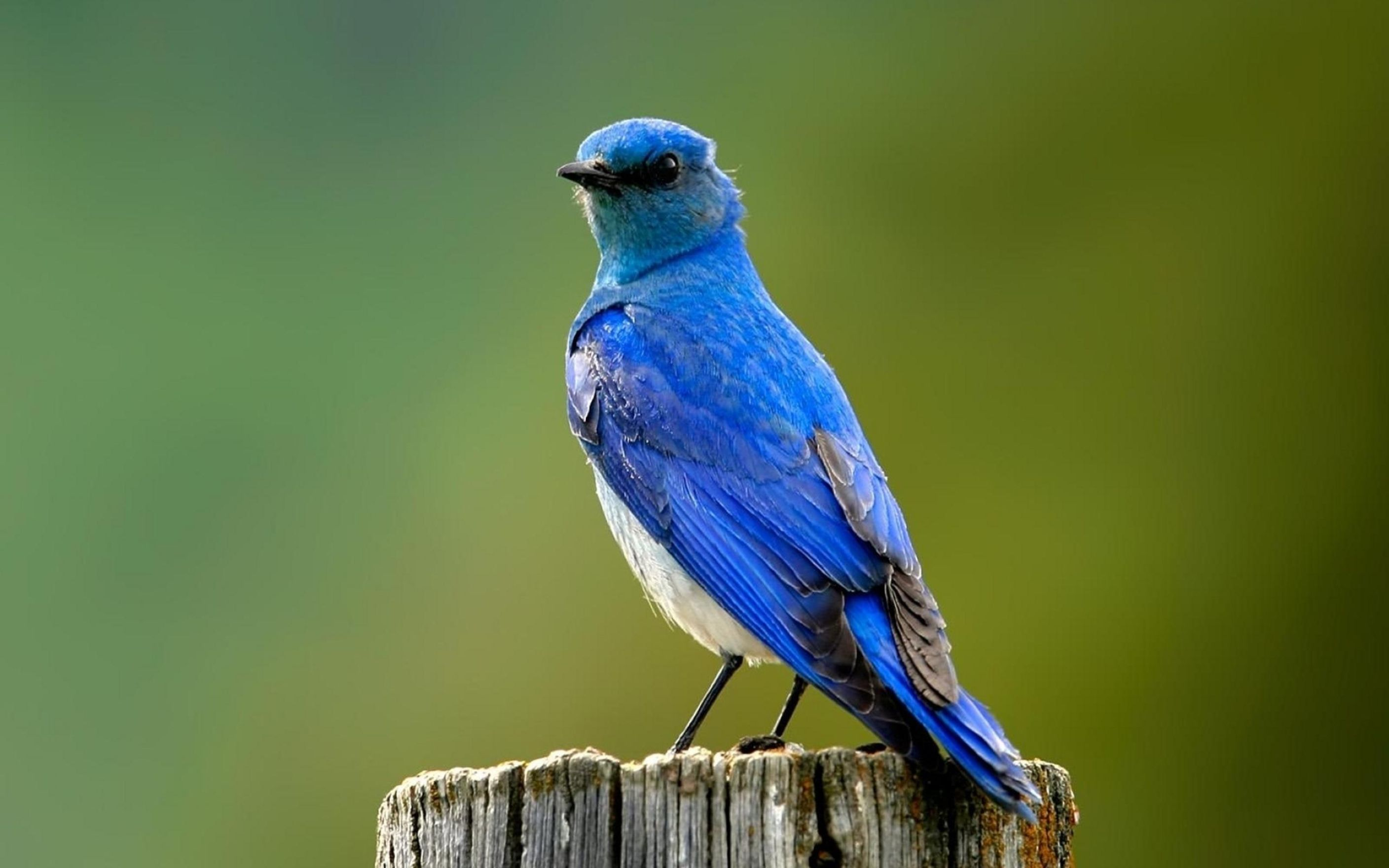 Download free HD Blue Bird Wallpaper, image