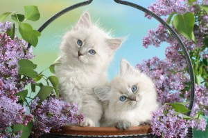 Blue Eyes And Blossoms Cats Wide Wallpaper
