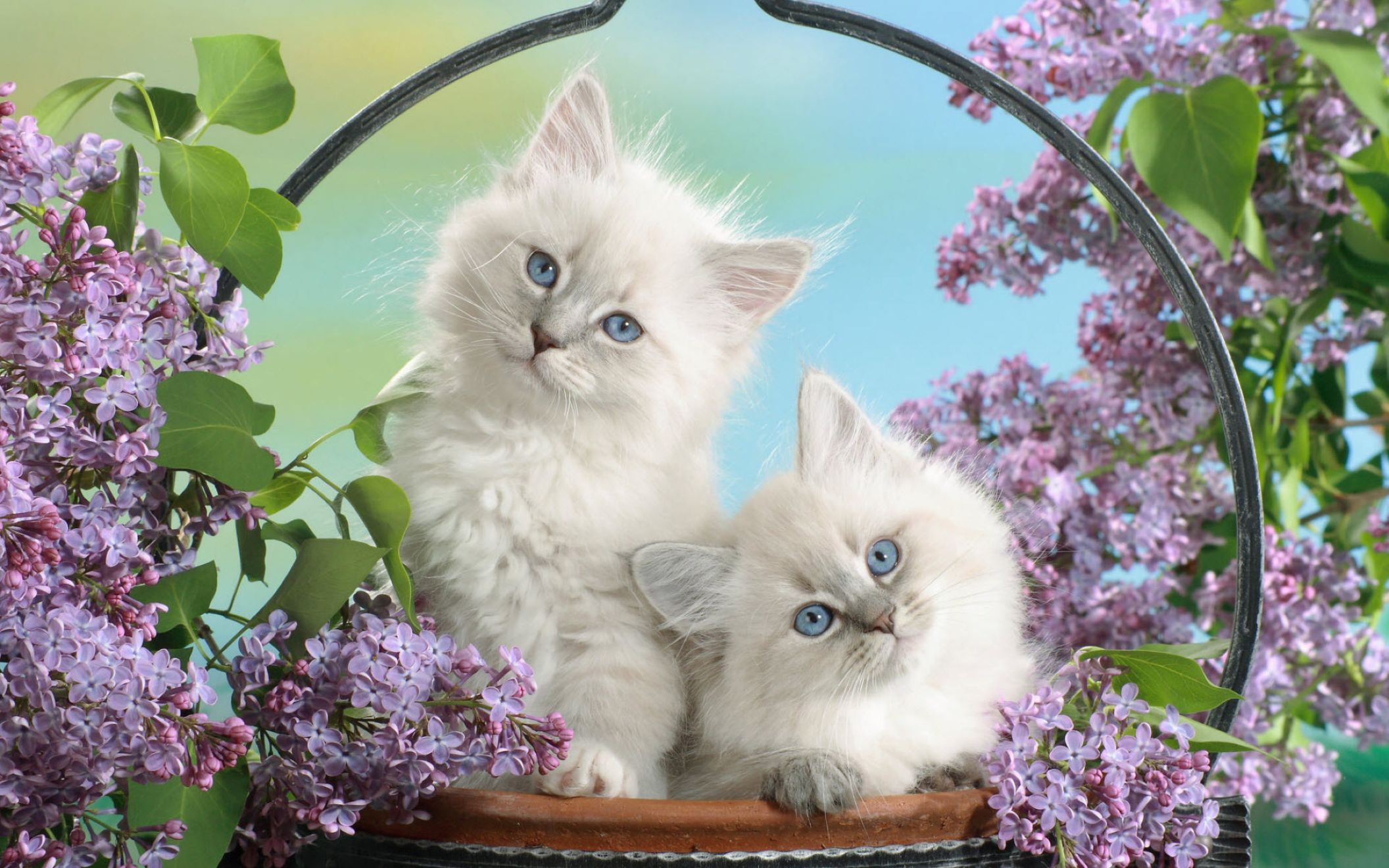 Download free HD Blue Eyes And Blossoms Cats Wide Wallpaper, image