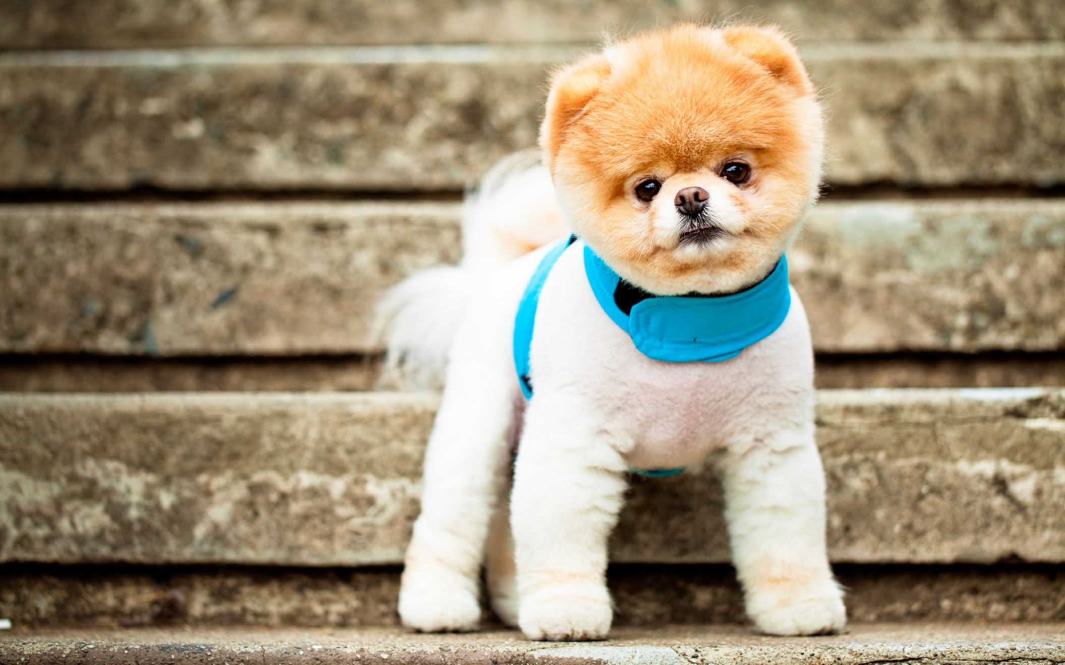 Download free HD Boo The Cutest Dog Wide Wallpaper, image