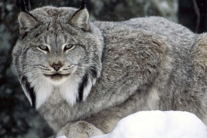 Download Canadian Lynx Normal Wallpaper Free Wallpaper on dailyhdwallpaper.com