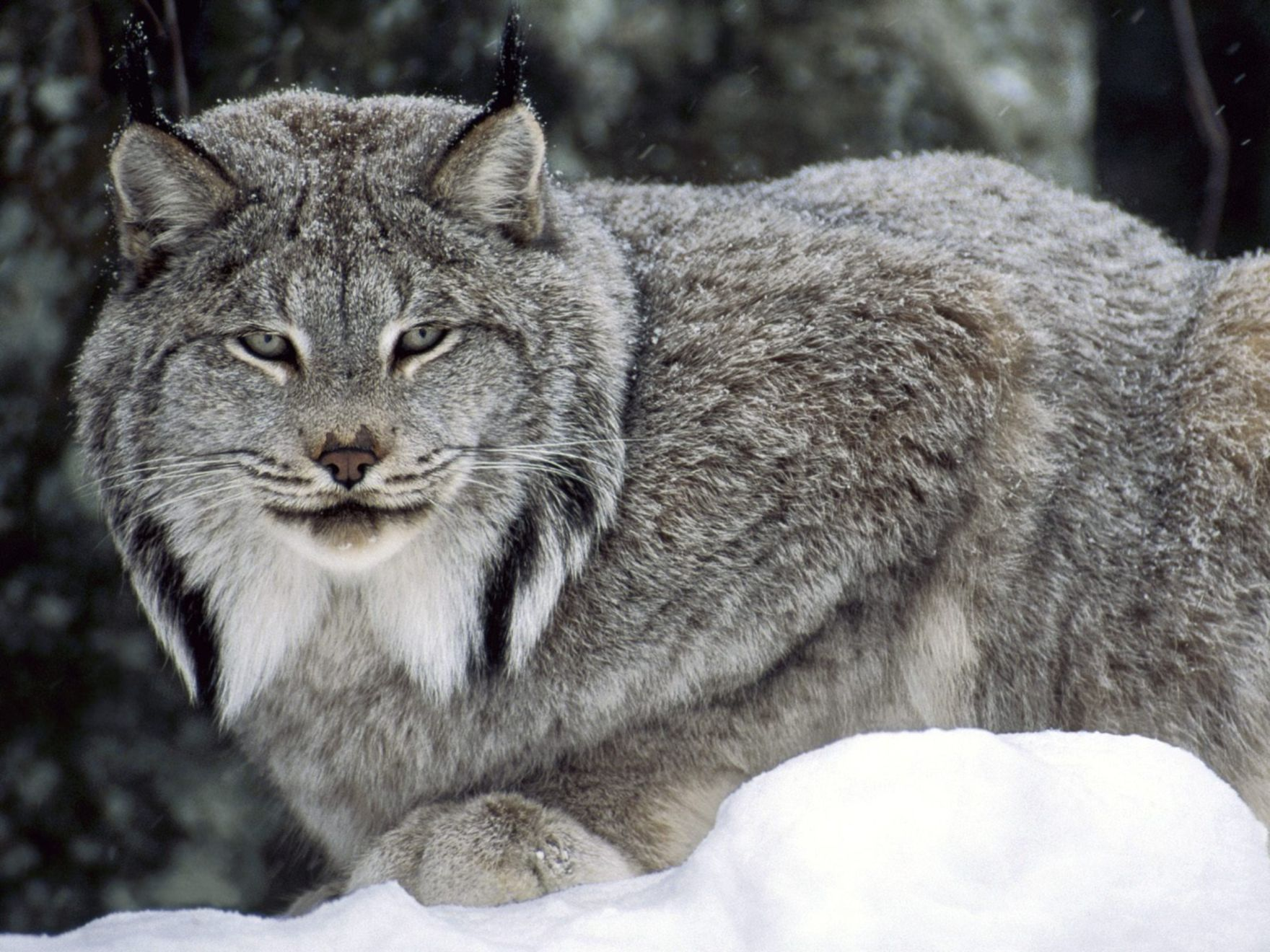 Download free HD Canadian Lynx Normal Wallpaper, image