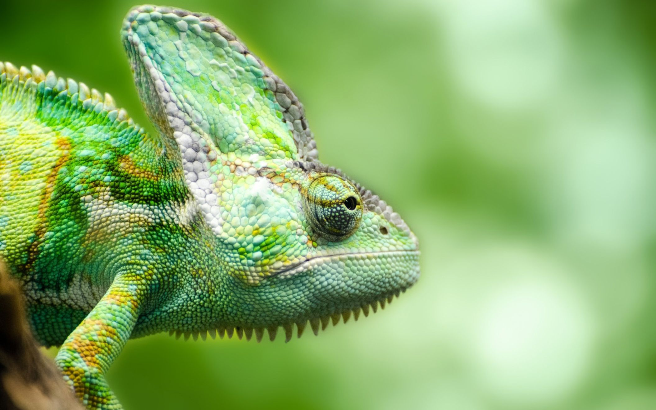 Download free HD Chameleon Forest Lizard Wide Wallpaper, image