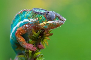 Download Chameleon Macro Photography Desktop Wallpaper Free Wallpaper on dailyhdwallpaper.com
