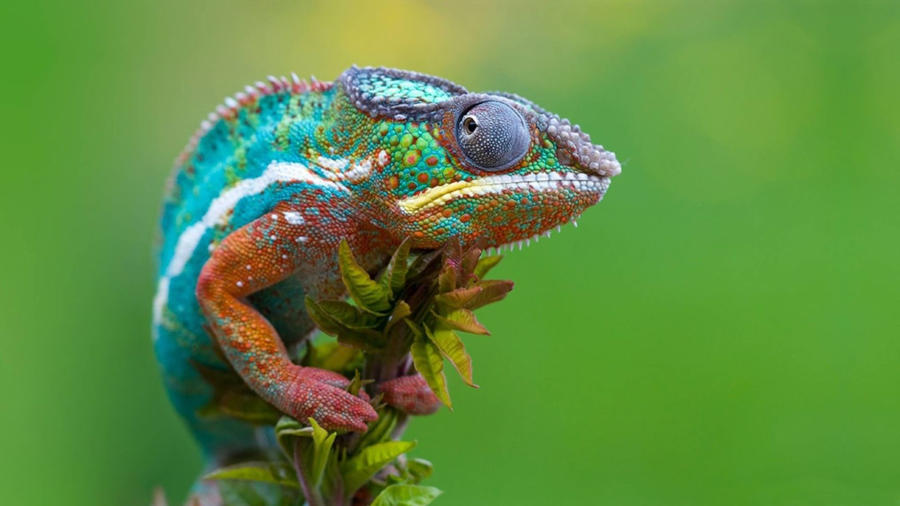 Download free HD Chameleon Macro Photography Desktop Wallpaper, image