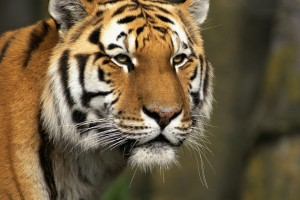 Download Curious Cat Siberian Tiger Normal Wallpaper Free Wallpaper on dailyhdwallpaper.com