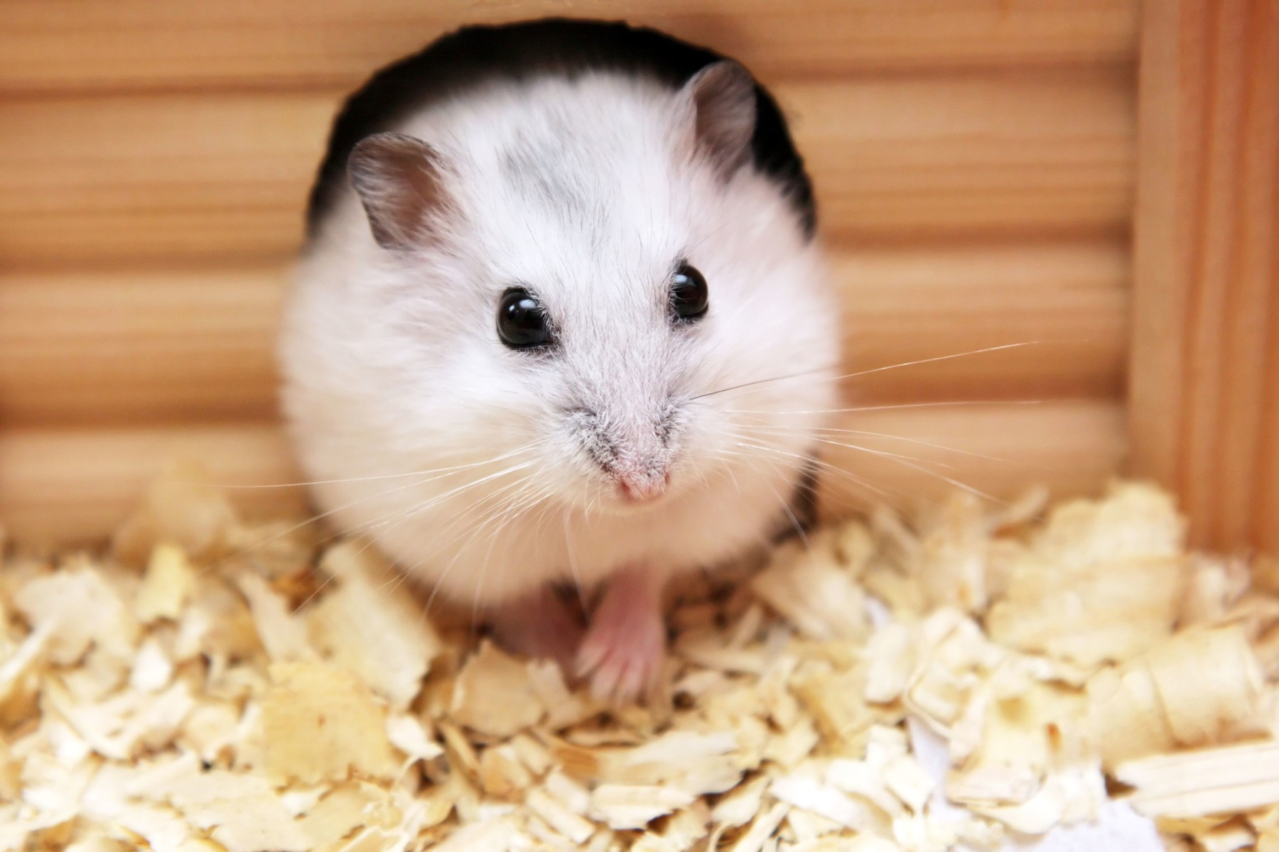 Cute Baby Hamster Picture