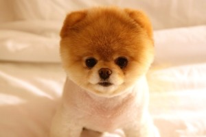 Download Cute Dog Boo Wide Wallpaper Free Wallpaper on dailyhdwallpaper.com