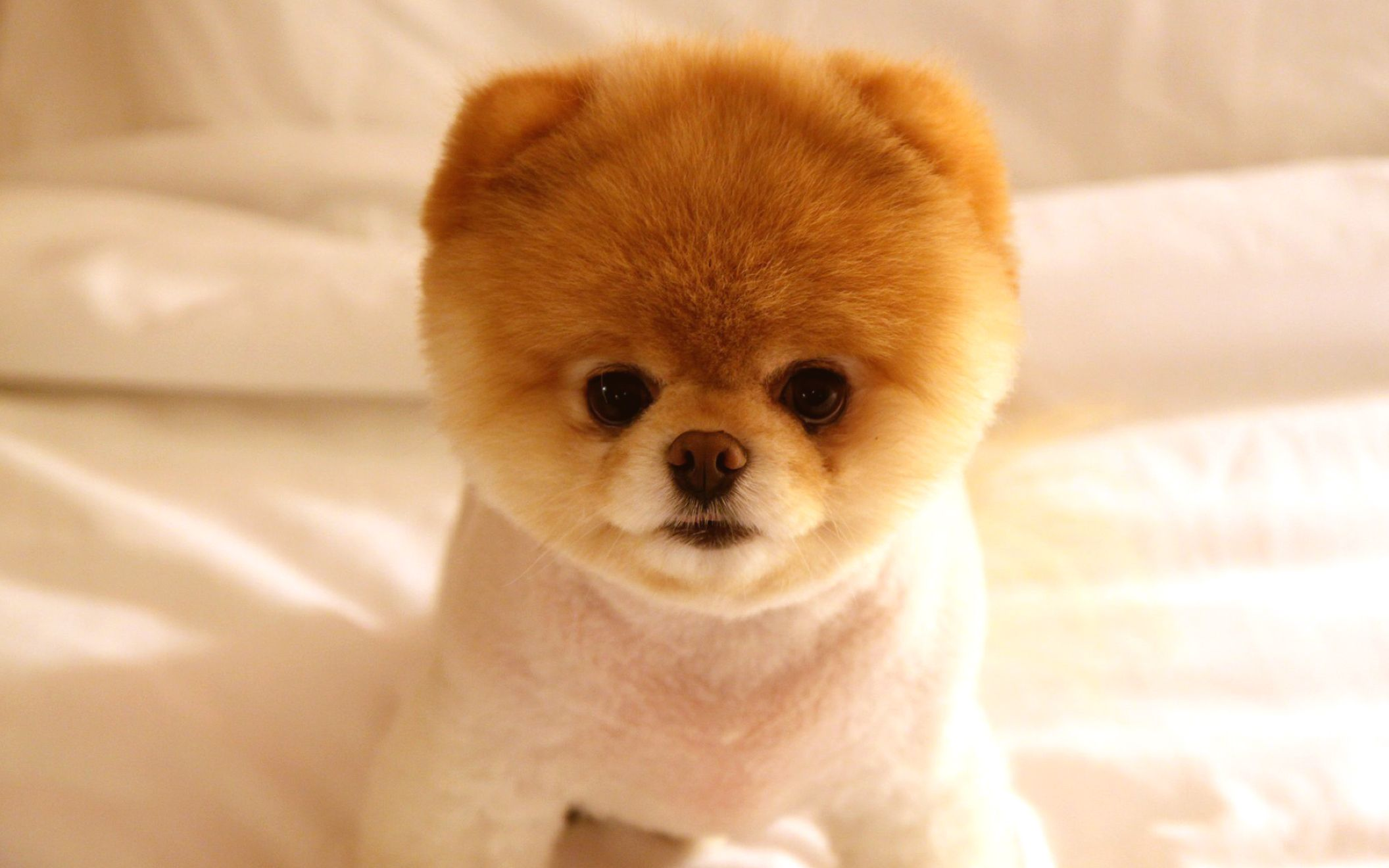 Download free HD Cute Dog Boo Wide Wallpaper, image