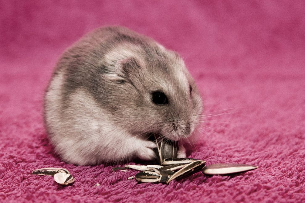 Download free HD Cute Dwarf Hamster Picture, image