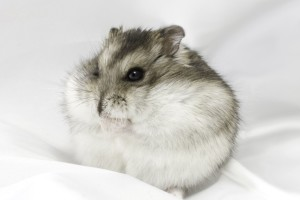 Download Cute Flat Hamster Wallpaper Free Wallpaper on dailyhdwallpaper.com