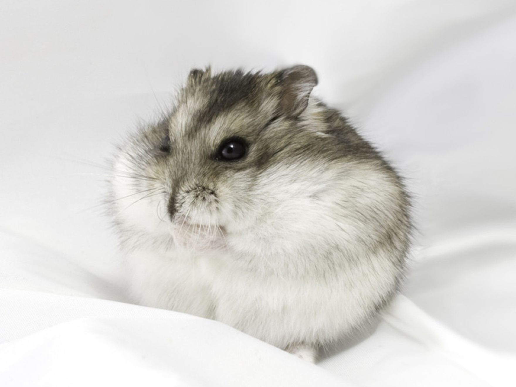 Download free HD Cute Flat Hamster Wallpaper, image