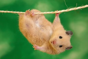 Download Cute Hamster Animal Desktop Wallpaper Free Wallpaper on dailyhdwallpaper.com