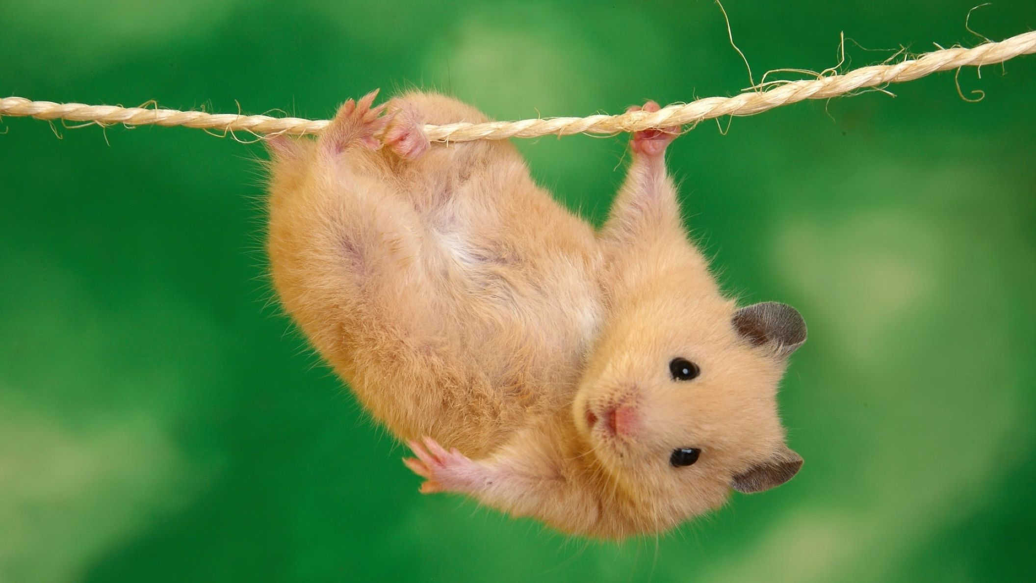 Download free HD Cute Hamster Animal Desktop Wallpaper, image