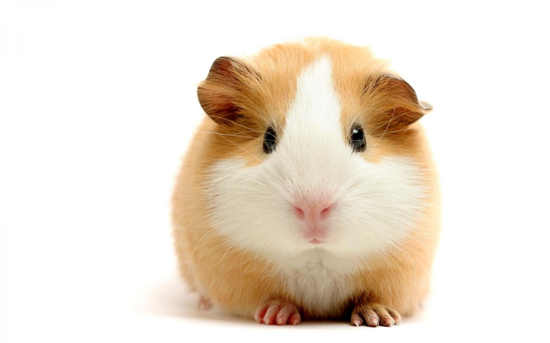 Download free HD Cute Hamster Computer Wallpaper, image