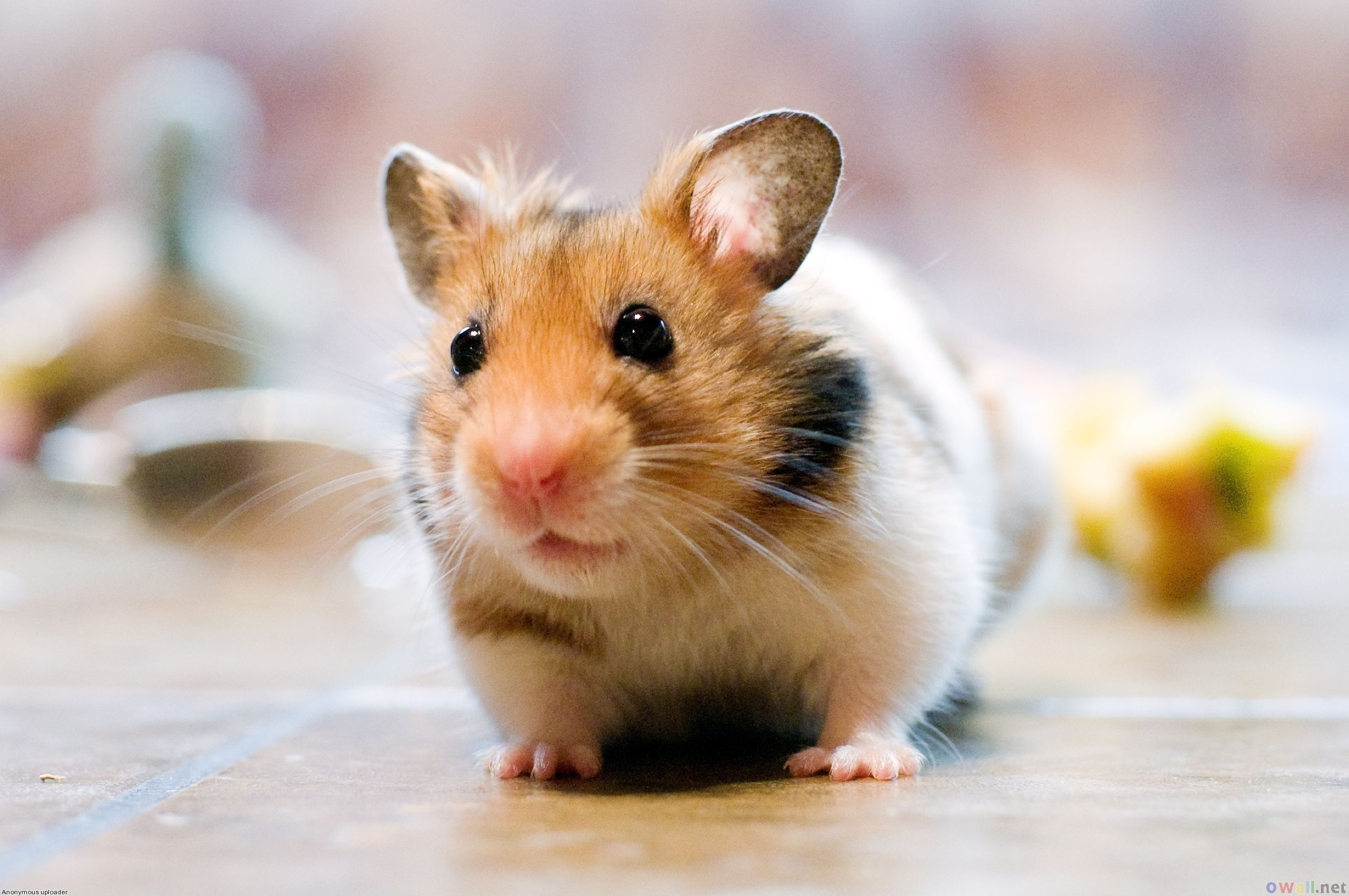 Download free HD Cute Hamster Desktop Picture, image