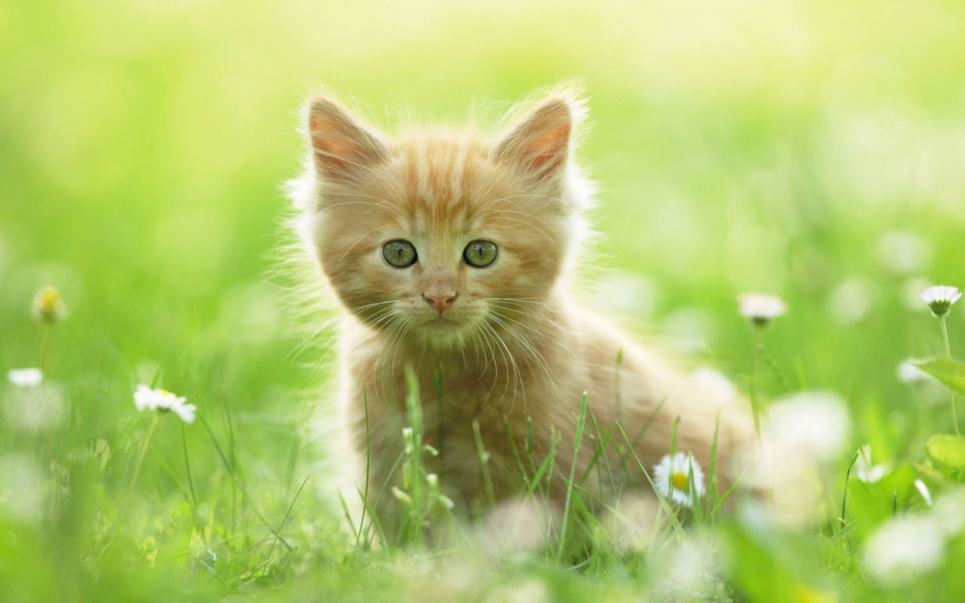 Cute Kitten Wide Wallpaper