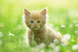 Download Cute Kitten Wide Wallpaper Free Wallpaper on dailyhdwallpaper.com