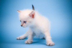 Download Cute Mew Mew Cat Wide Wallpaper Free Wallpaper on dailyhdwallpaper.com
