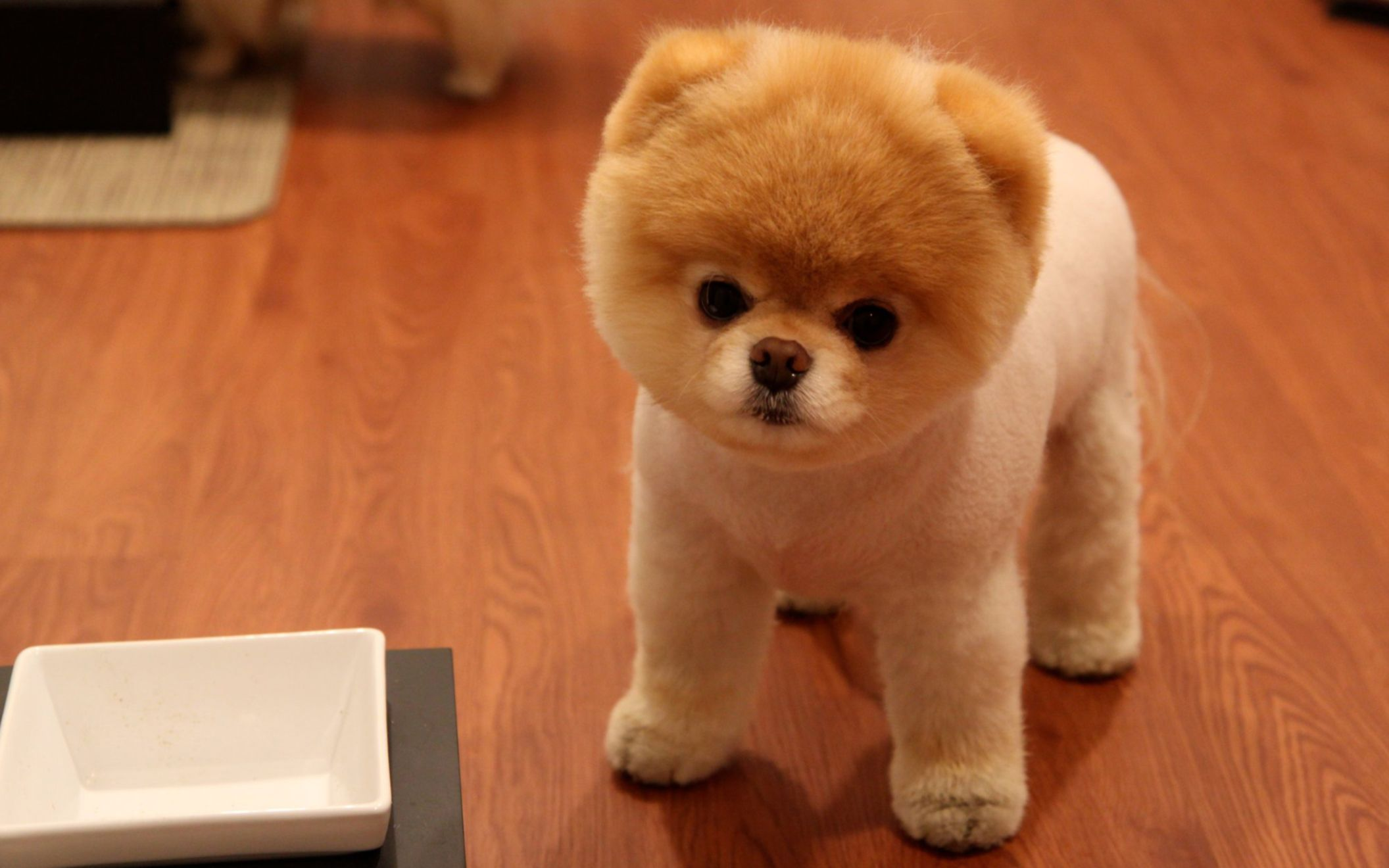 Download free HD Cute Pomeranian Dog Wide Wallpaper, image