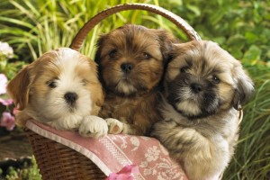 Download Cute Puppies 2 Wide Wallpaper Free Wallpaper on dailyhdwallpaper.com