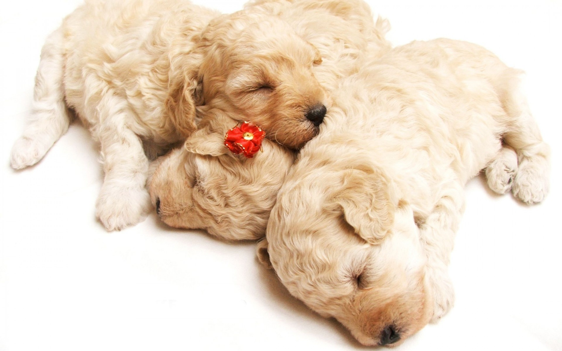 Cute Sleeping Puppies Wide Wallpaper