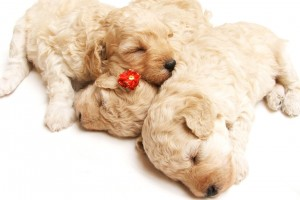 Download Cute Sleeping Puppies Wide Wallpaper Free Wallpaper on dailyhdwallpaper.com